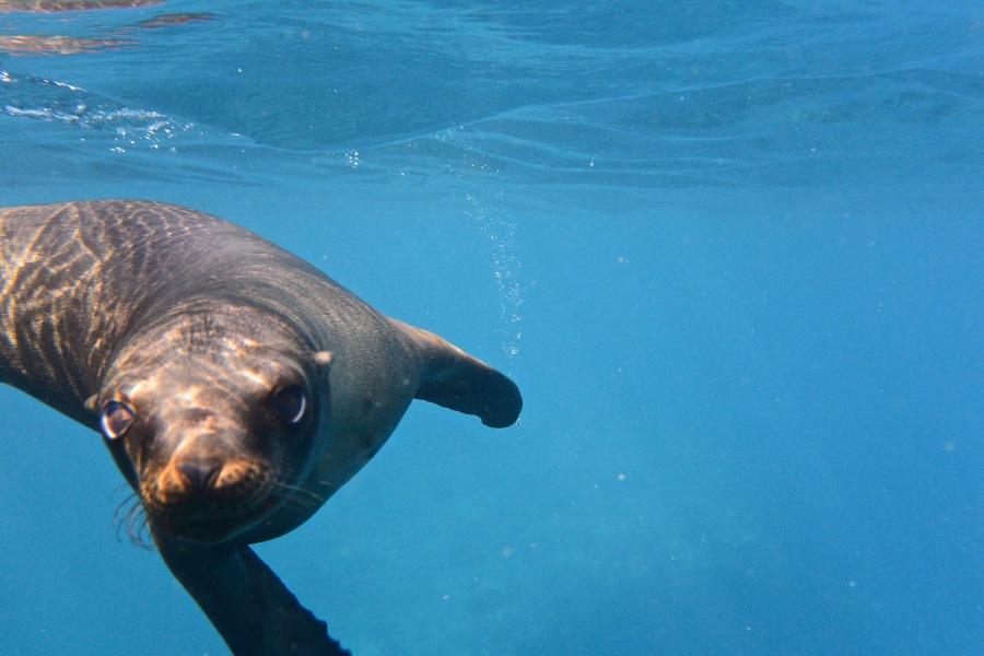 Dachshund goes snorkeling inAlaska